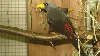 Download Burung Jalak Rio  mana yang tidak nyaut dan gacor dengan pancingan ini Mp3