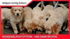 WELPEN RICHTIG FÜTTERN ► Hundewelpen füttern und das richtig