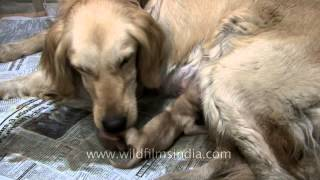Giving Birth - Golden Retriever