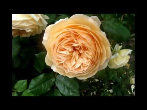 АНГЛИЙСКИЕ  РОЗЫ...КУСТОВЫЕ..СТАРИННЫЕ РОЗЫ . Дэвида Остина/ David Austin magnificent roses