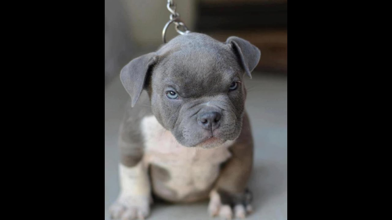 Angry Pitbull and Cane Corso Mix Puppy - YouTube