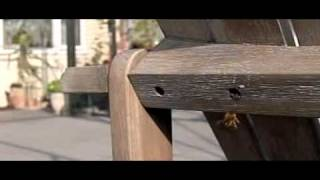 Red Mason Bee, Osmia Rufa, Rosse Metselbij; A Pair Building Nest In Wooden Garden Chair