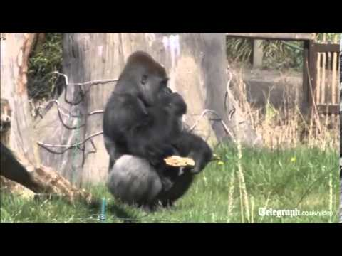 London Zoo's new gorilla impresses females