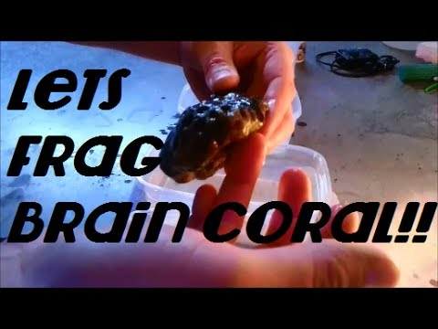 How To Easily Frag Brain Coral!!!