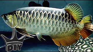 Asian arowana update panda gold