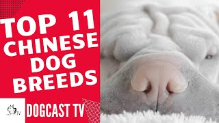 TOP 11 Chinese Dog Breeds!  DogCastTV!
