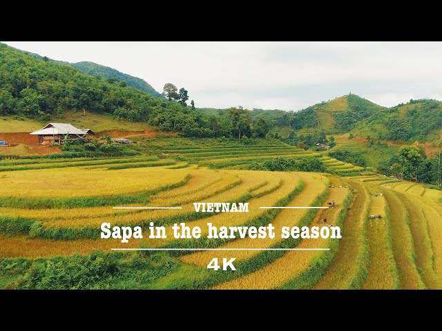 Sapa, Vietnam In The Harvest Season By Drone (4K) | Welcome To Vietnam