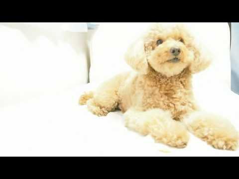 """犬と遊ぶのは楽しい -簡単な犬芸""""マテ""""- (トイプードル)/ It's fun to play with dogs.- Dog Tricks """" Stay """" Toy Poodle"""