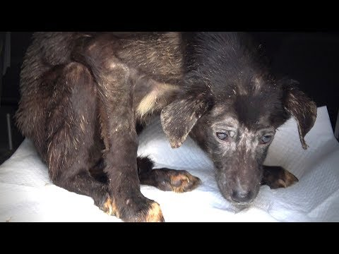 Rescue of Starving Terrified Dog Who Never Wagged Her Tail