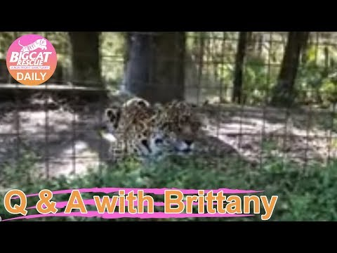 Q&A with Brittany~Manny Jaguar goes on FunCation~3.7.2019