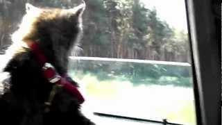 Кошка едет на дачу