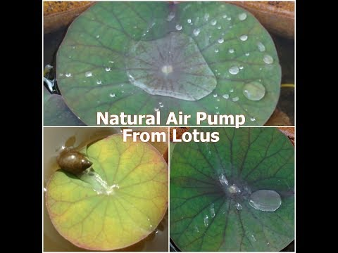 Pinch Off A Lotus Leaf & You Will Be Surprised With What Happens    First Video Footage On Youtube