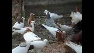 голуби бакинцы  и другие породы голубей