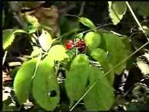 Ginseng In Illinois Map.Wild Ginseng Youtube
