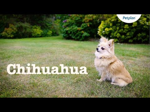 Chihuahua Dogs and Puppies: Lifespan, Temperament & Facts | Petplan