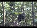 Great Apes, Game Cameras, And The Bigfoot Implications