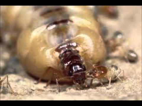 รวมนางพญาปลวก pluak,queen termiteTel.086-461-3311.wmv