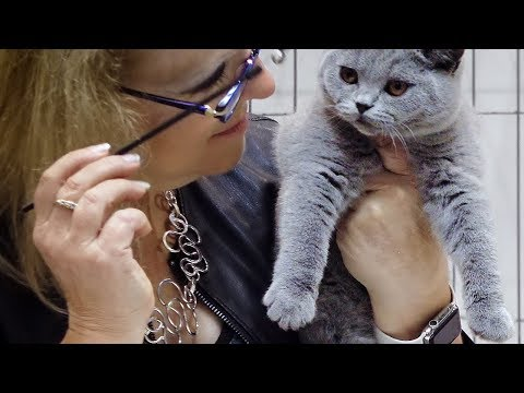 CFA International Cat Show 2018 - British Shorthair kitten class judging