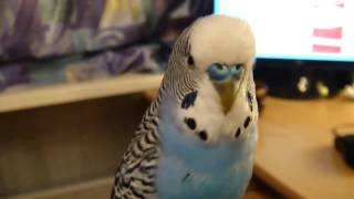 Советы — как научить попугая говорить