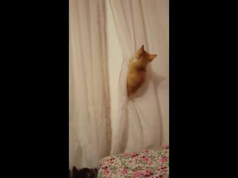 Kittens having a blast climbing curtains