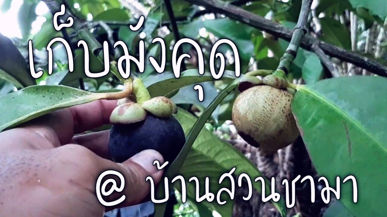 เก็บมังคุด ชิมมังคุดสดๆจากต้น @ บ้านสวนชามา อ.ทองผาภูมิ จ.กาญจนบุรี