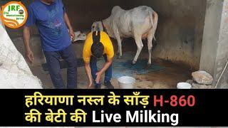 👍H-860 Bull की बेटी (First Timer) की Live Milking.👍Bittu पहलवान जी के घर से (9813171130)👍