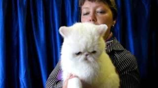Экзот на выставке кошек PCA - White exotic cat