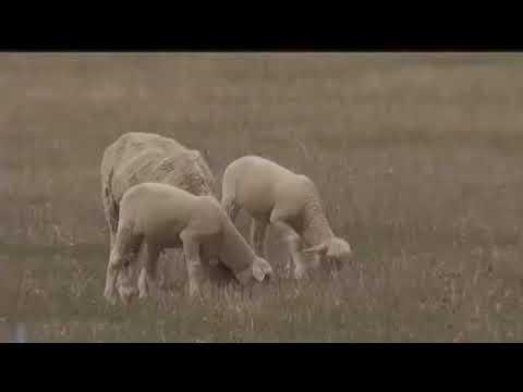 Montana Ag: Montana woolgrowers optimistic about 2018