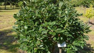 Quercus pontica video