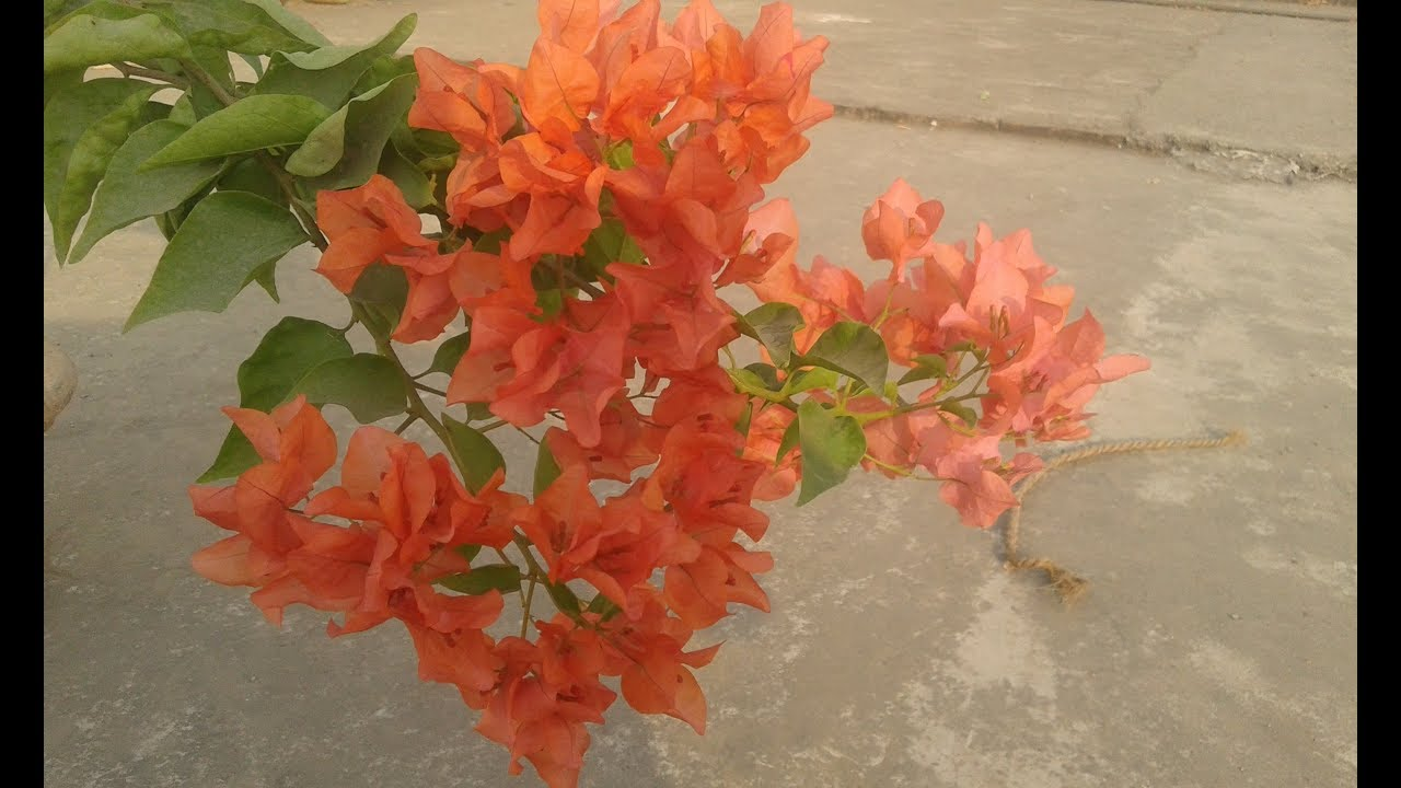 Bougainvillea Plant Full Care Detailed Information About Paper
