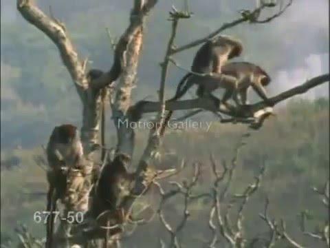 Sevişen maymnuları trolleyen maymun   YouTube
