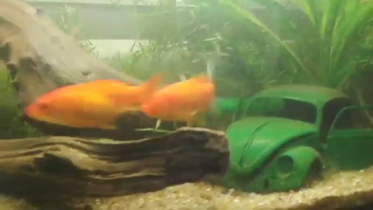 Goldfish mating chase - YouTube