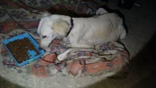 الكلبه السلوقي السنائي ستلد بعد ساعات من كلب سلاله سنائي مع جمال العمواسي