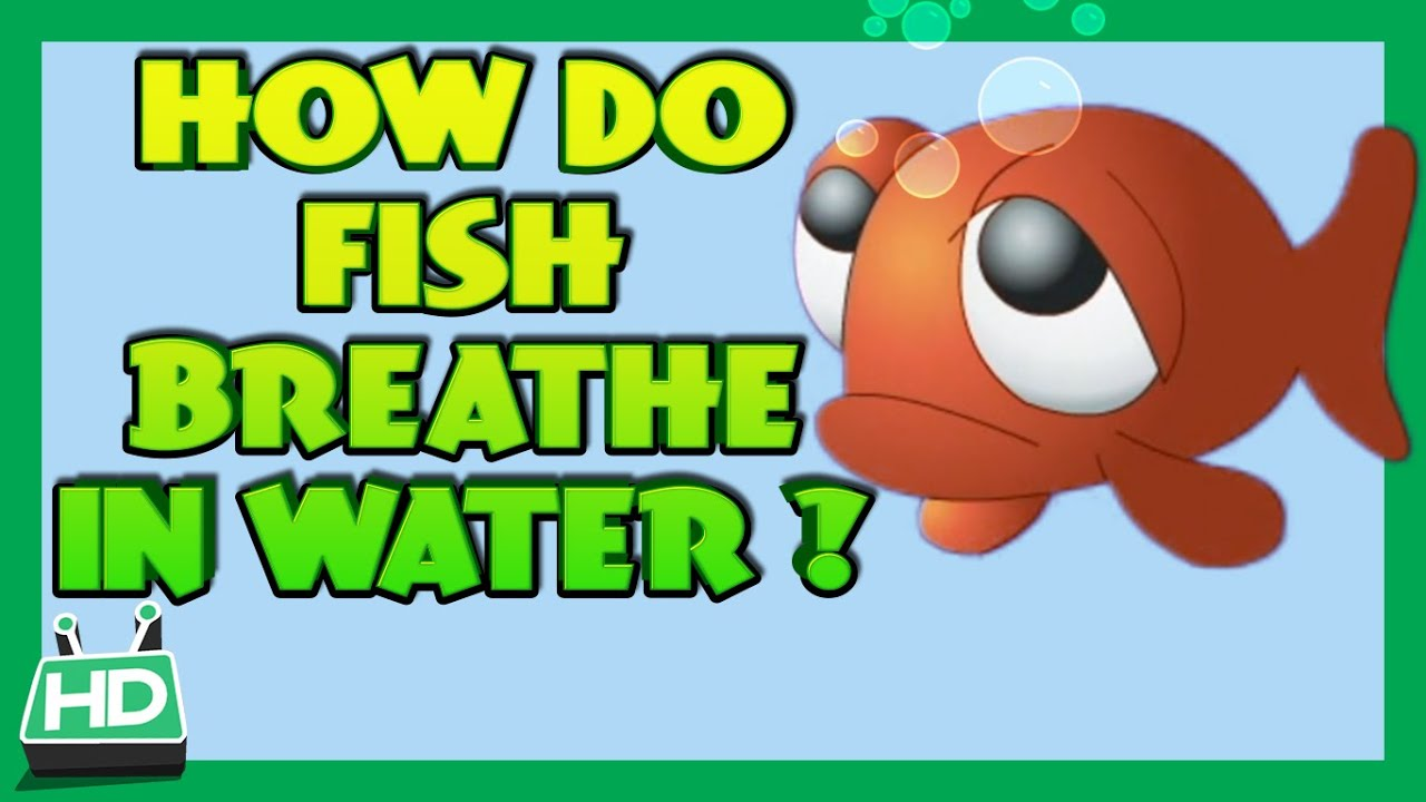 How do fish breathe in water youtube for Do all fish have gills