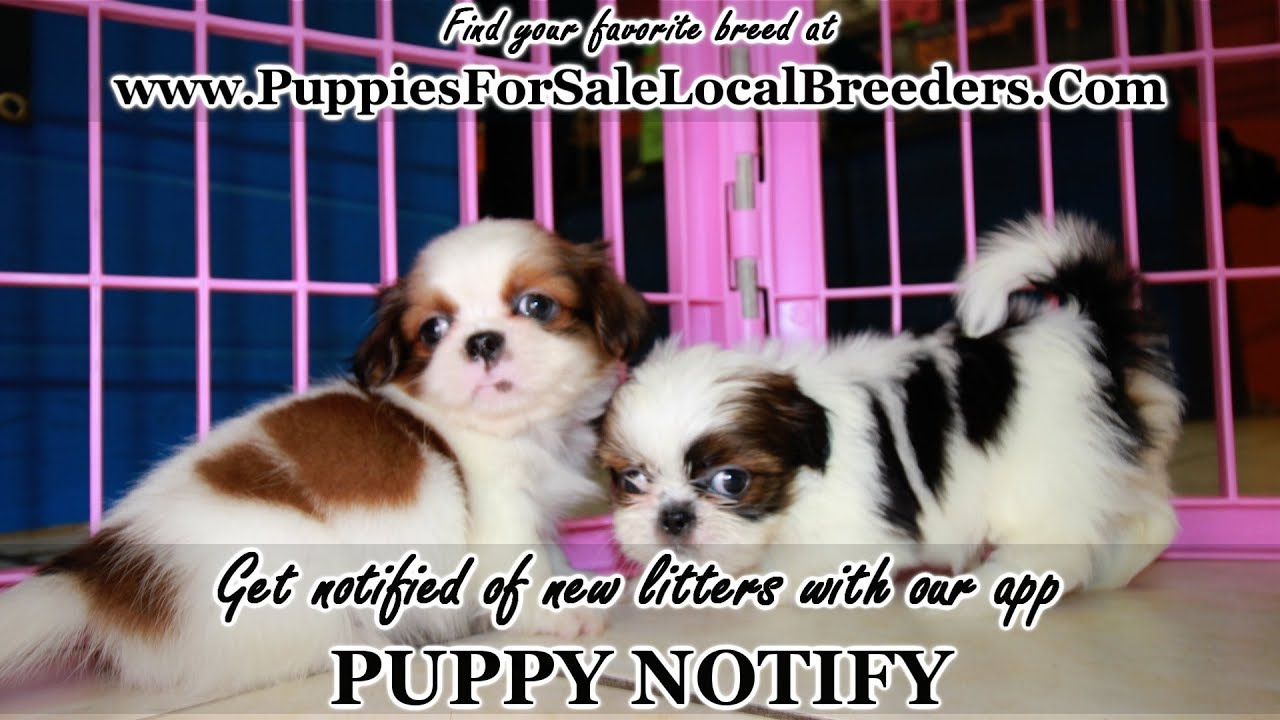Shih Tzu Puppies For Sale Georgia Local Breeders Near Atlanta Ga