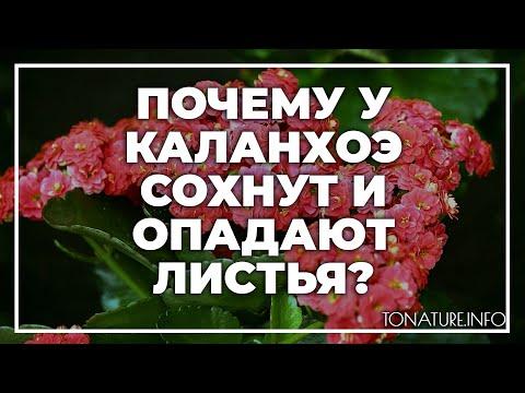 Почему у каланхоэ сохнут и опадают листья? | toNature.Info
