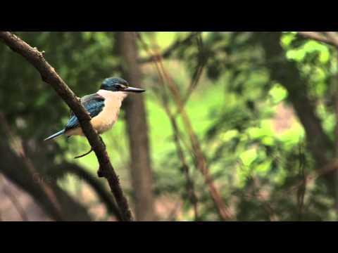 Sacred Kingfisher (Halcyon Sancta) Along The Yarra River, Melbourne