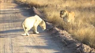 Ross pride vs White lion