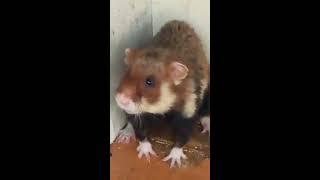 Обыкновенный Хомяк (bonus - кот)