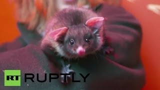 Australia: Bottle-fed baby glider the cutest thing you