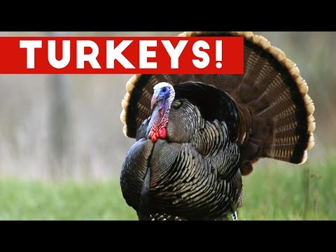Funniest Gobbling Turkey  Compilation November 2016  Funny Pet s