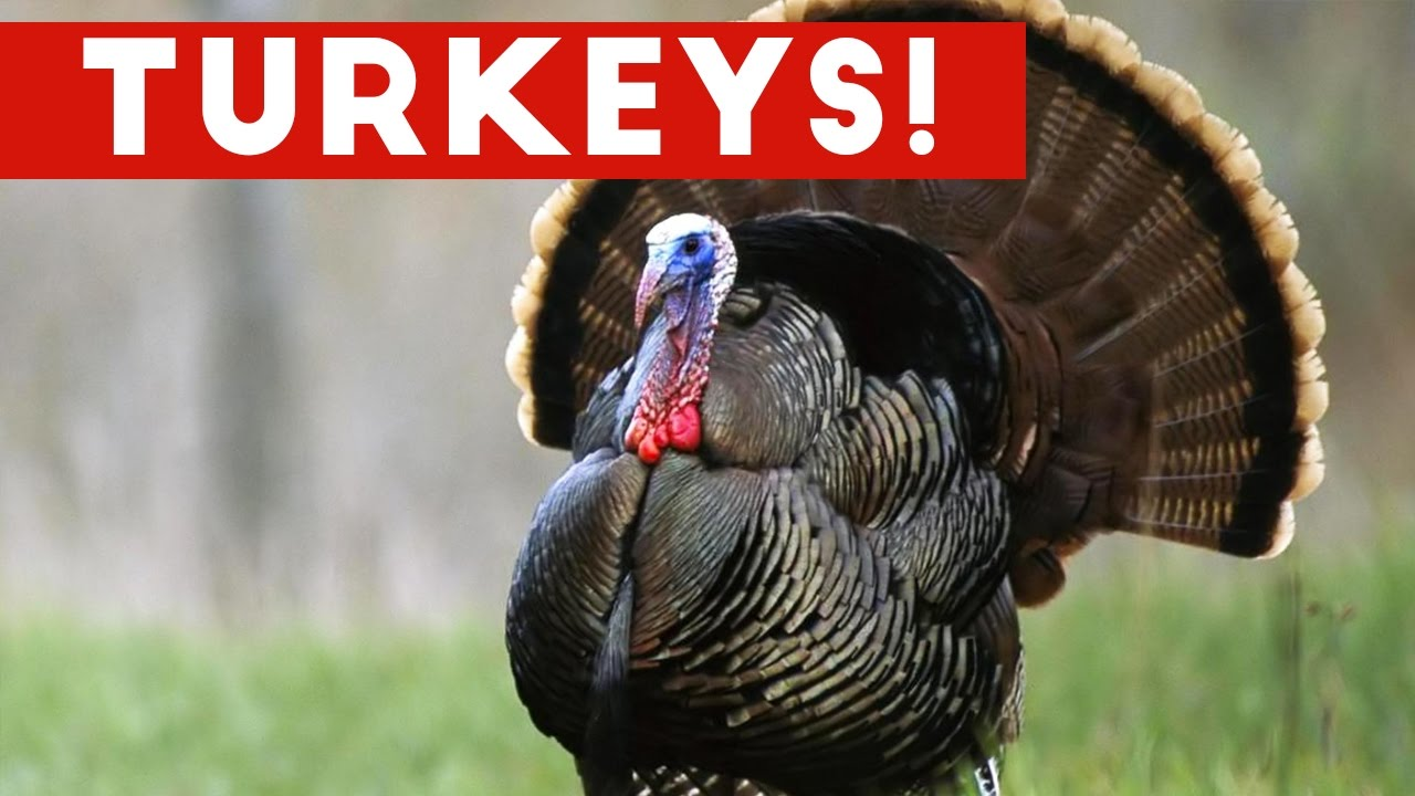 Funniest Gobbling Turkey Compilation November Funny Pets