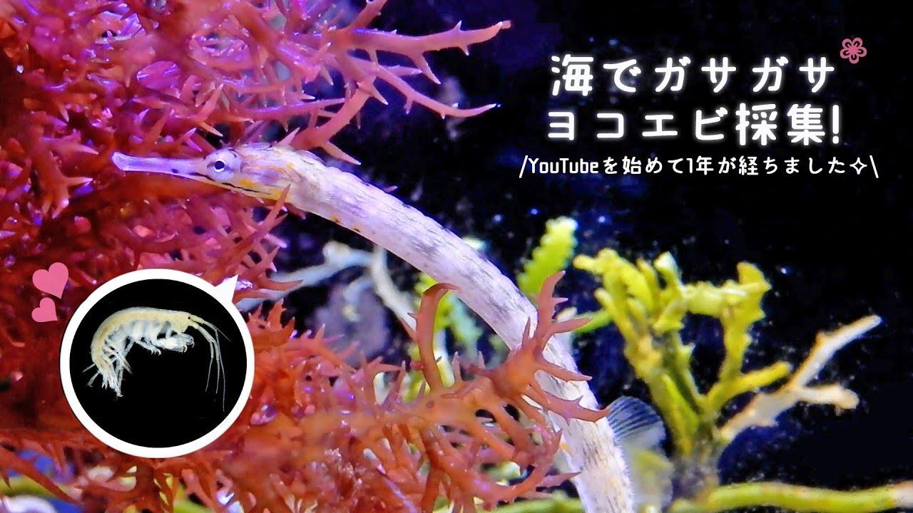海でガサガサ!ヨコエビ採集 グラステリアAGSへ投入❀海水魚水槽 アクアリウム