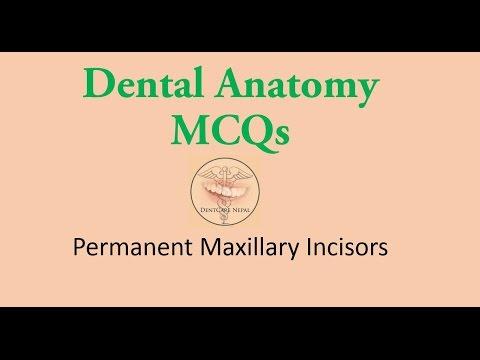 MCQs in Dental Anatomy - Maxillary Central Incisor  and Maxillary Lateral incisor