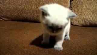 Котята британской короткошерстной г. Киев