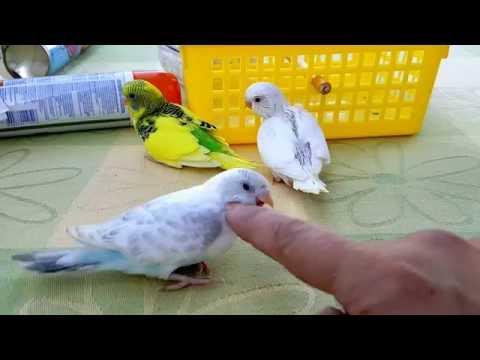Muhabbet Kusu Sari Gelin Yavrulari 3 Budgerigar Youtube