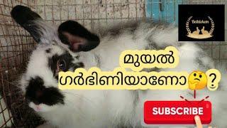 മുയലുകളുടെ ഗർഭനിർണയം എങ്ങനെ?   | pregency test rabbit | RABBIT FARMING 9526425054  Nithin thomas.