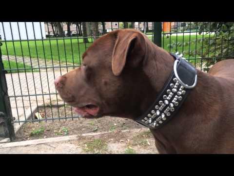 Ver Video de Pitbull Chocolate Pitbull Terrier