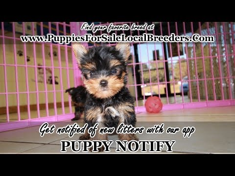 Teacup Yorkie Puppies For Sale Georgia Local Breeders Near Atlanta