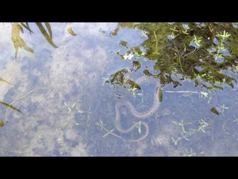 Baby Grass Snake - Natrix Natrix - Grassnákur - Skriðdýr - Dýralíf